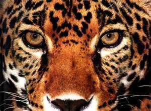 Jaguar de la Dernière Prophétie des Andes